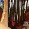Family Poultry, Ghana