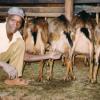 Dairy Goat Farming, Kenya